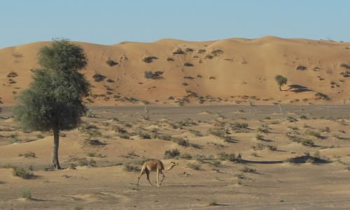 Camel in its native environment. These beasts thrive on the course and sparse forage of the desert.