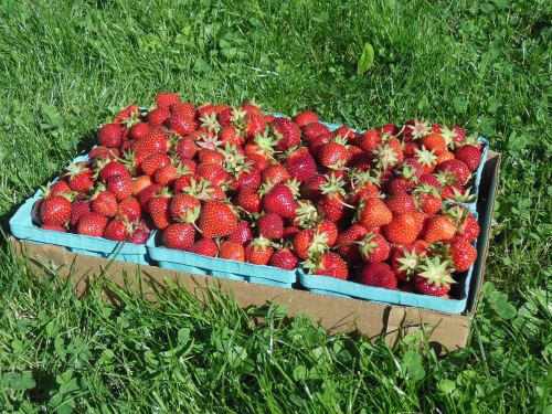"The farm I go to grows a variety of strawberries, I exclusively pick the ""Early Glow"" variety. They are, without a doubt, the best in the field, though arguable more tedious to pick since they are quite a bit smaller than most commercial varieties. They are well worth any extra effort, as the flavor is unparalleled (though their shelf life is very limited)."