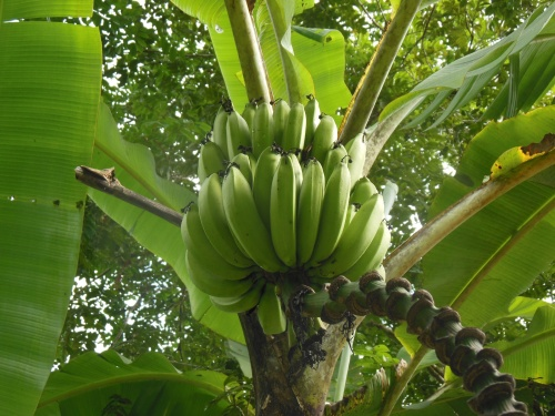 Bananas grow with abundance in Belize (this pic was taken in someone's yard, but we also drove through miles of a banana plantation on our way to the coast).