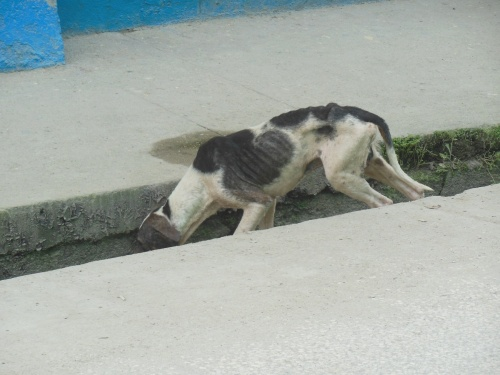 "Dogs are also generally left to be ""free-range"", often with tragic results.  It's rather heartbreaking to see the starving, mangy dogs all over the streets."