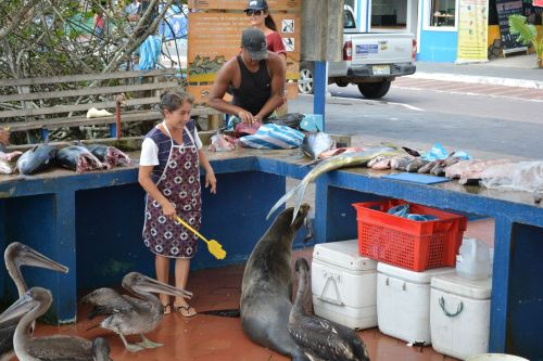 The Sea Lion was given a hunk of fish and the fishmonger kept the pelicans back with a fly swatter so he could enjoy it!
