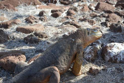 These cuddly guys (land iguanas) have had a hard time on some islands, but with restoration and conservation efforts they are now dong well.