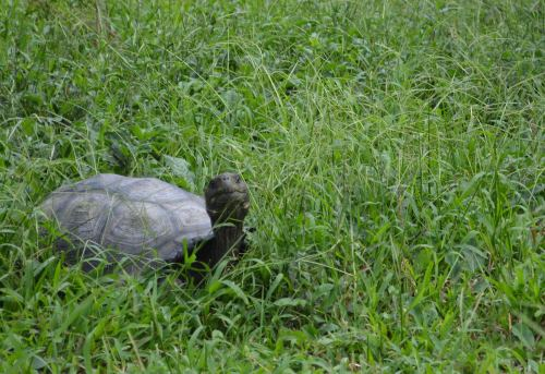 A Medium Sized Tortoise- Perhaps this is a good soup-sized tortoise?