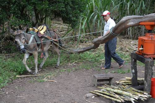 Sugar Cane processing- This isn't how the family processes sugar today, but this is the traditional method.  Sugar cane is fed into the press and juice comes out the bottom.  On this plantation half of the sugar cane juice is made into molasses and half is made into alcohol!
