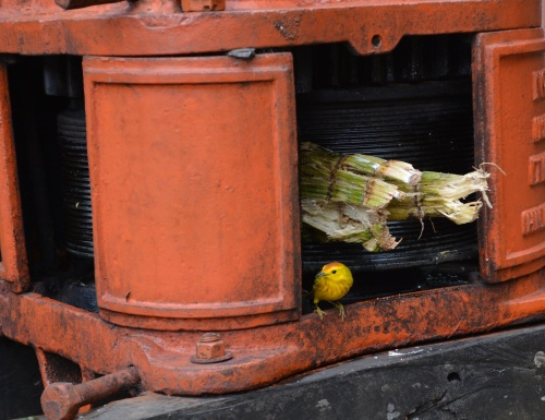 Diabetic Warbler?- This Yellow Warbler really liked to hang out on the sugar cane press!