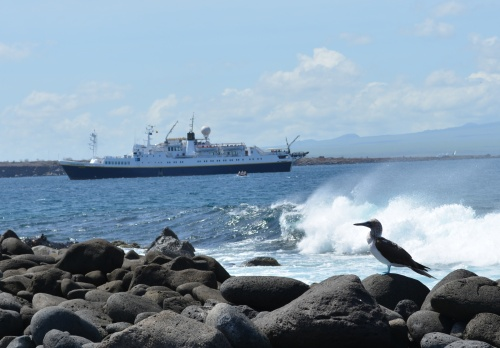A blue footed booby in the Galapagos, with the National Geographic Endeavour in the background.
