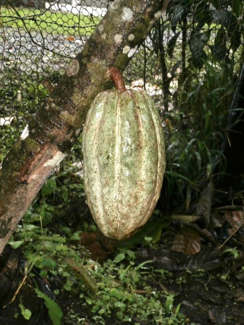 Cacao trees have many pods on them at one time and they sprout directly from the trunk or branches.  They ripen at different times, and are red and yellow when mature.  The best beans grow at lower altitudes, so El Quetzal doesn't use the pods from their plants in Mindo (somewhere between 1000 and 2000m altitude) for making chocolate.  Instead they use these for decoration and/or share the fresh pulp amongst the workers as a snack.
