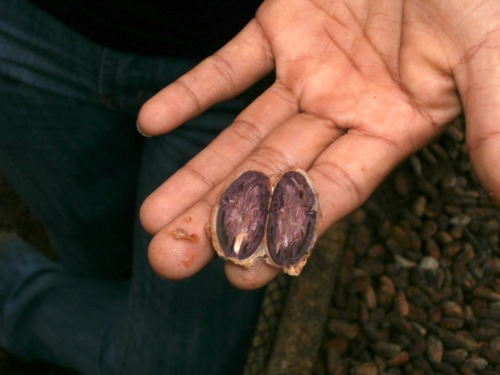 "The heat from the fermentation process kills the ""embryo"" inside.  Initially these embryos start out purple, and they become brown as they cook and die.  Brown (dead) embryos make good chocolate (there's a reason chocolate is brown and not purple!)."