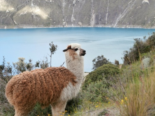 This llama was hanging out on the side of the caldera as we hiked back up.
