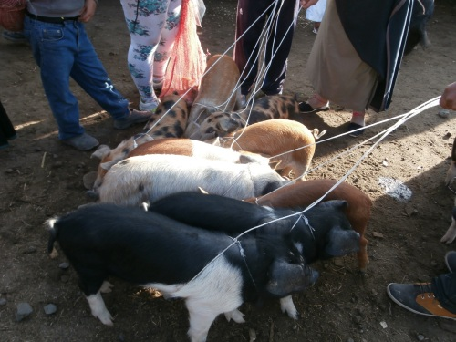 Piglets on leashes!